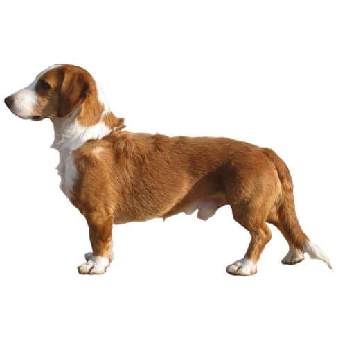 Race de chien Basset de Westphalie
