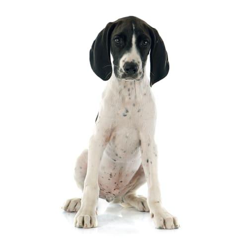 Race de chien Braque Français