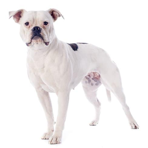 Race de chien Bouledogue Américain