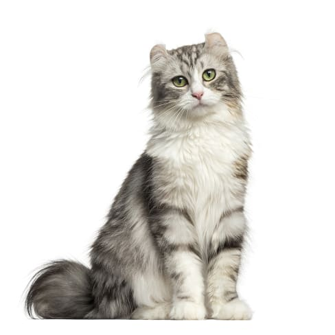 Race de chat American Curl