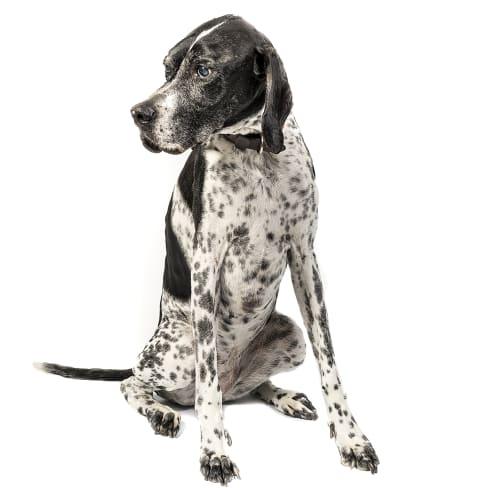 Race de chien Pointer Anglais