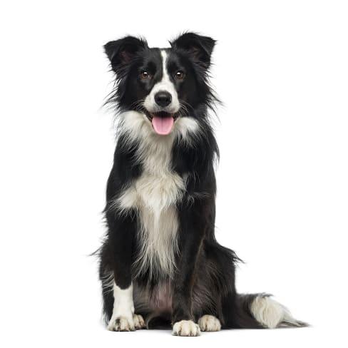 Race de chien Border Collie