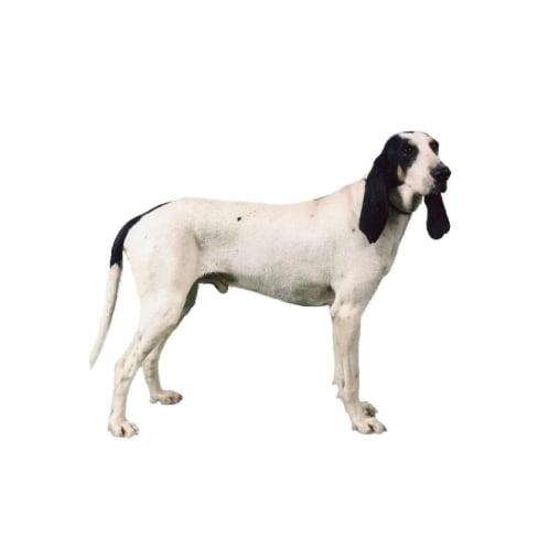 Race de chien Ariégeois