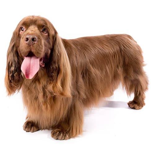 Race de chien Sussex Spaniel