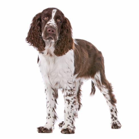 Race de chien Springer Anglais