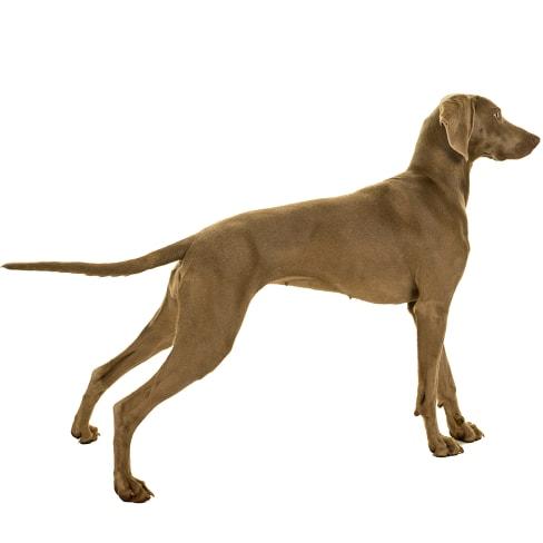 Race de chien Braque de Weimar