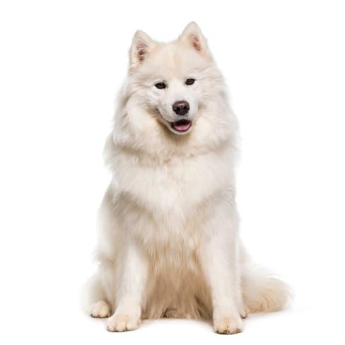 Race de chien Samoyède