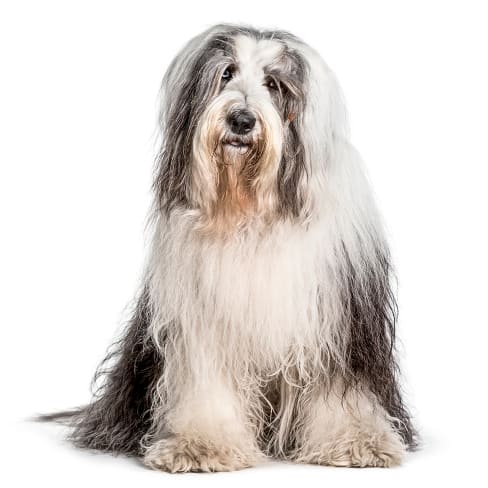 Bobtail - Race de chien Bobtail - Animaux - 976x976 - JPG