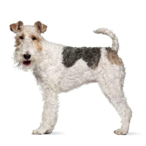 Race de chien Fox Terrier
