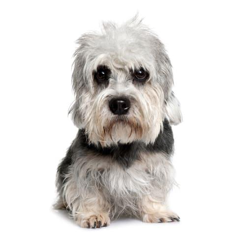 Race de chien Dandie Dinmont Terrier