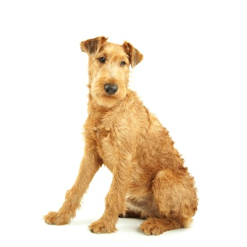 Race de chien Irish terrier