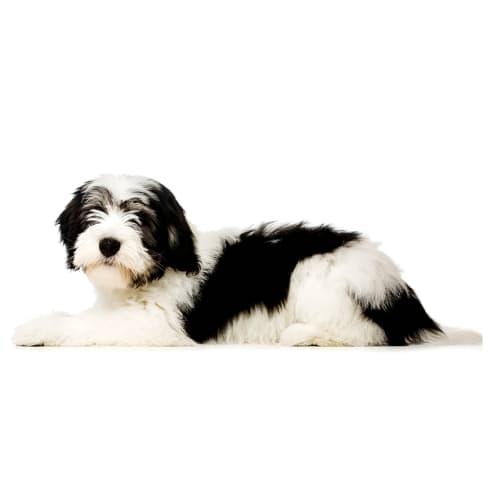 Race de chien Berger Polonais de Plaine