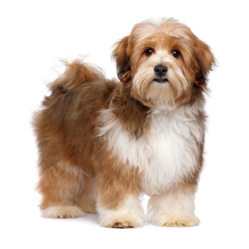 Race de chien Bichon Havanais