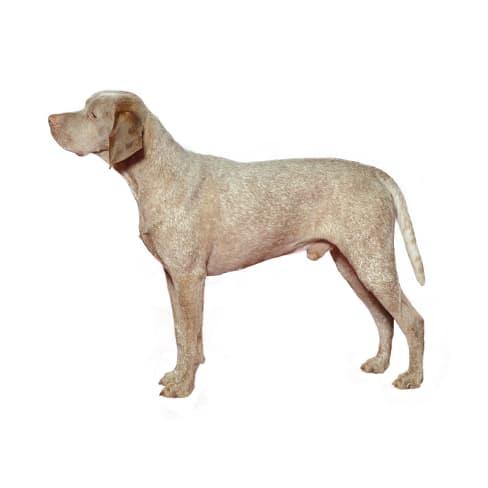 Race de chien Braque du Bourbonnais