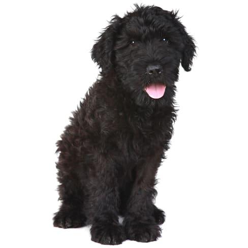 Race de chien Terrier Noir Russe
