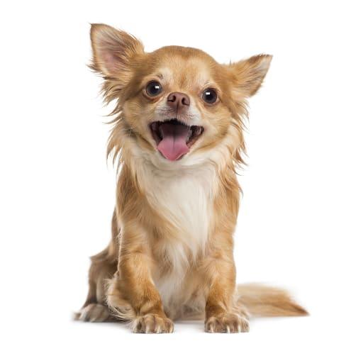Race de chien Chihuahua