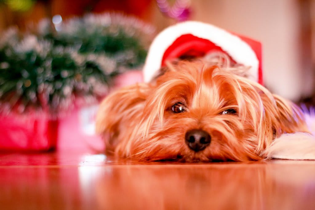 Danger noel animaux - chien noel cadeau - Animaux - 1024x682 - JPG