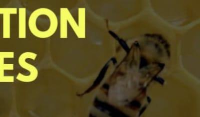 Pourquoi les abeilles disparaissent-elles ?