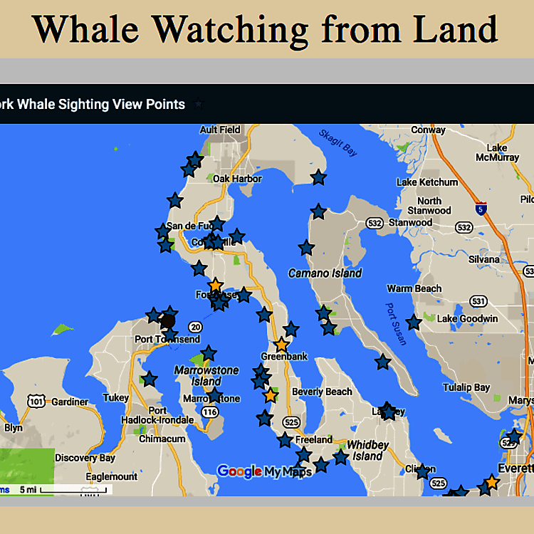 Whale watching is very popular on Whidbey Island!