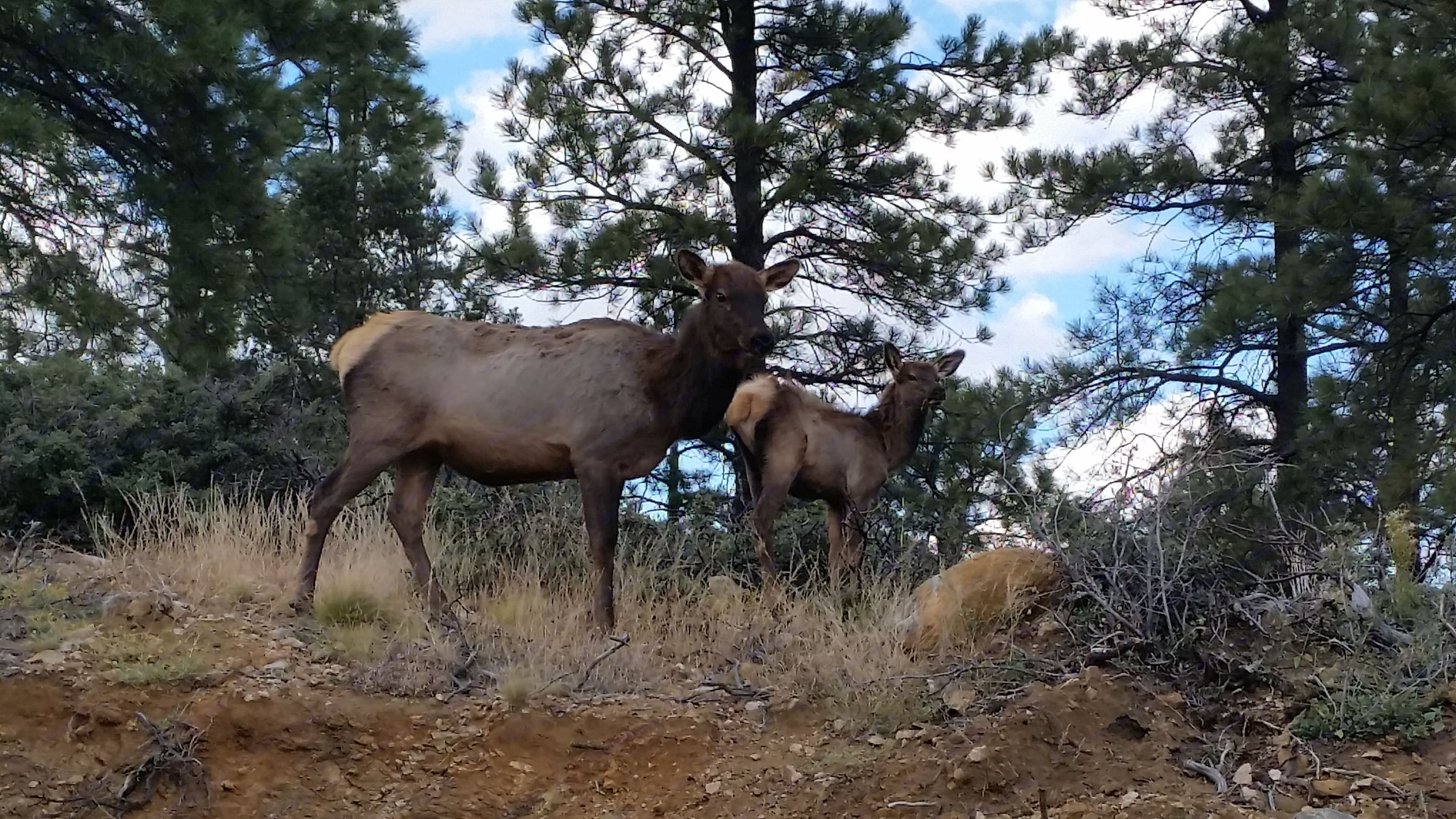 spotted some elk on our hike!. Dutchmen Aspen Trail 2018