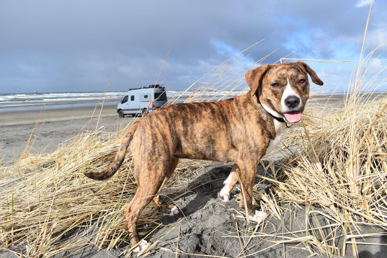 Lucy enjoying the sand dunes.. Winnebago Revel 2021