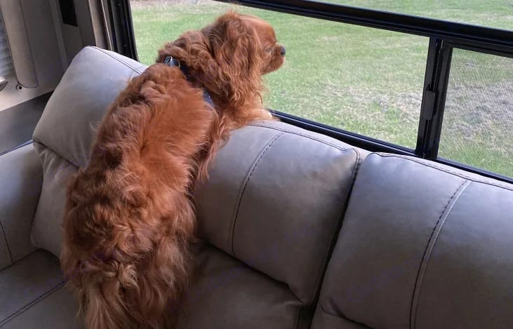 PJ loves camping!  This is another photo from Coles Creek.  When we arrived he hopped up on the sofa to get a look at the lake out the back window!. Keystone Hideout 27RLS 2020