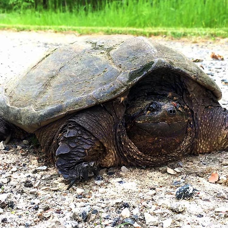 Lots of wildlife and amphibians to check out. This big snapping turtle was planning on laying eggs on our driveway.