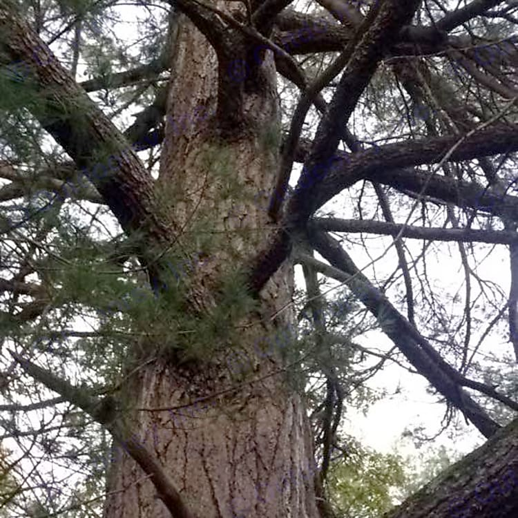 Very old white pine at the back of our property. Lots of woodpeckers have visited this old tree