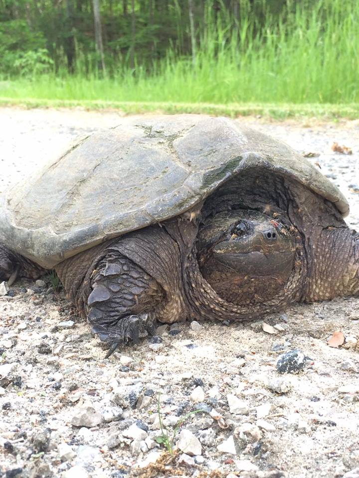 Lots of wildlife and amphibians to check out. This big snapping turtle was planning on laying eggs on our driveway.. Heartland Elkridge 2017