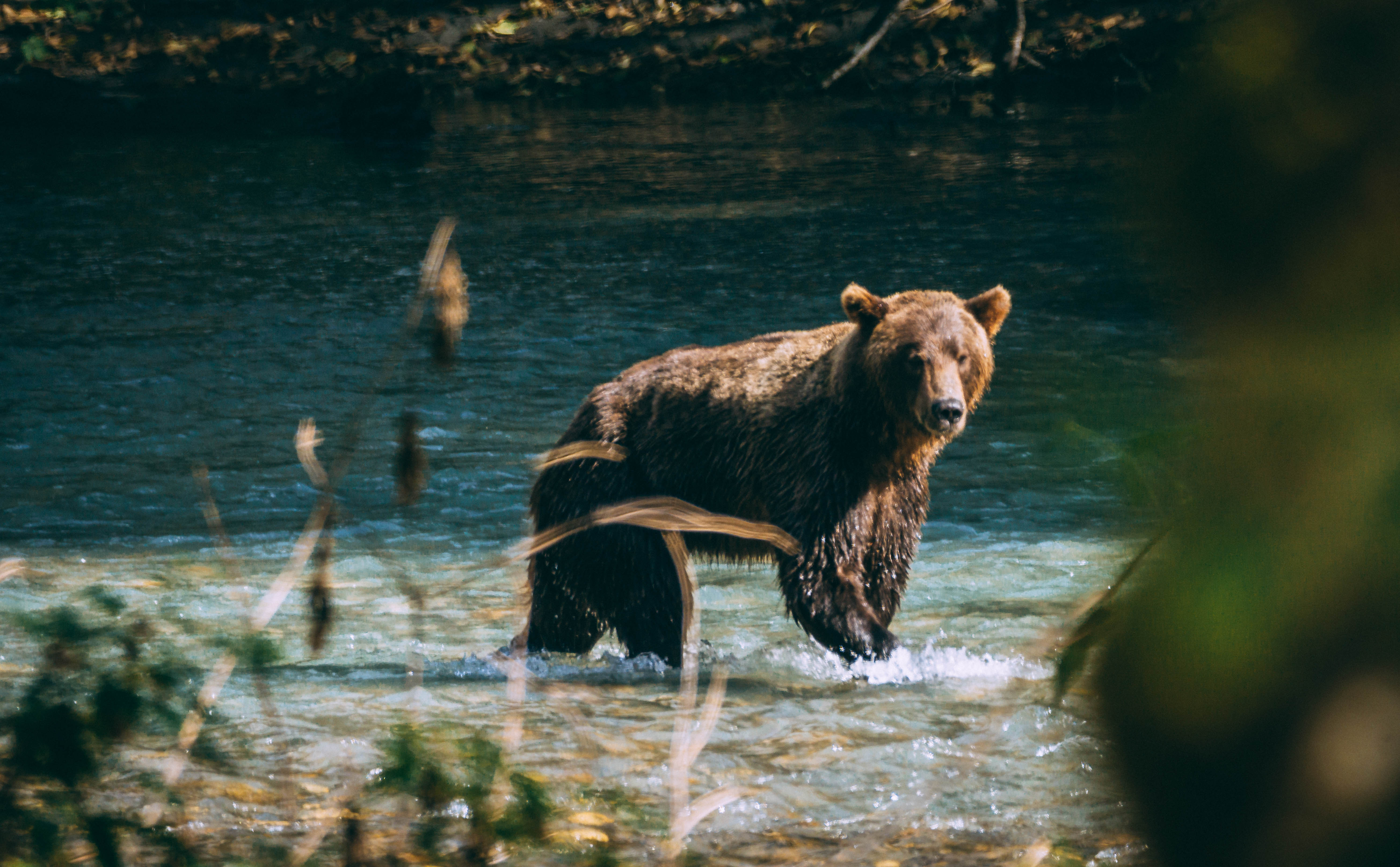 https://res.cloudinary.com/pacific-coastal-cruises-and-tours/image/upload/v1600896184/GrizzlyBear_b0wthw.jpg