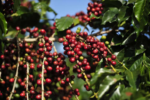 A picture of coffee cherries