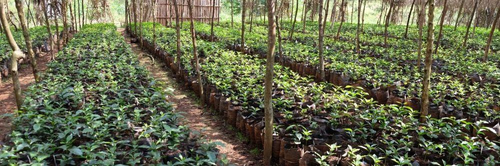 Rows of leafy plants at a coffee farm