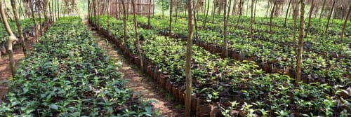 Rows of leafy plants at a coffee farm