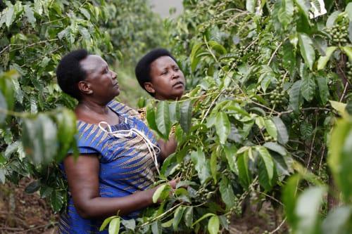 A picture of Epiphanie Mukashyaka, Rwandan coffee farmer