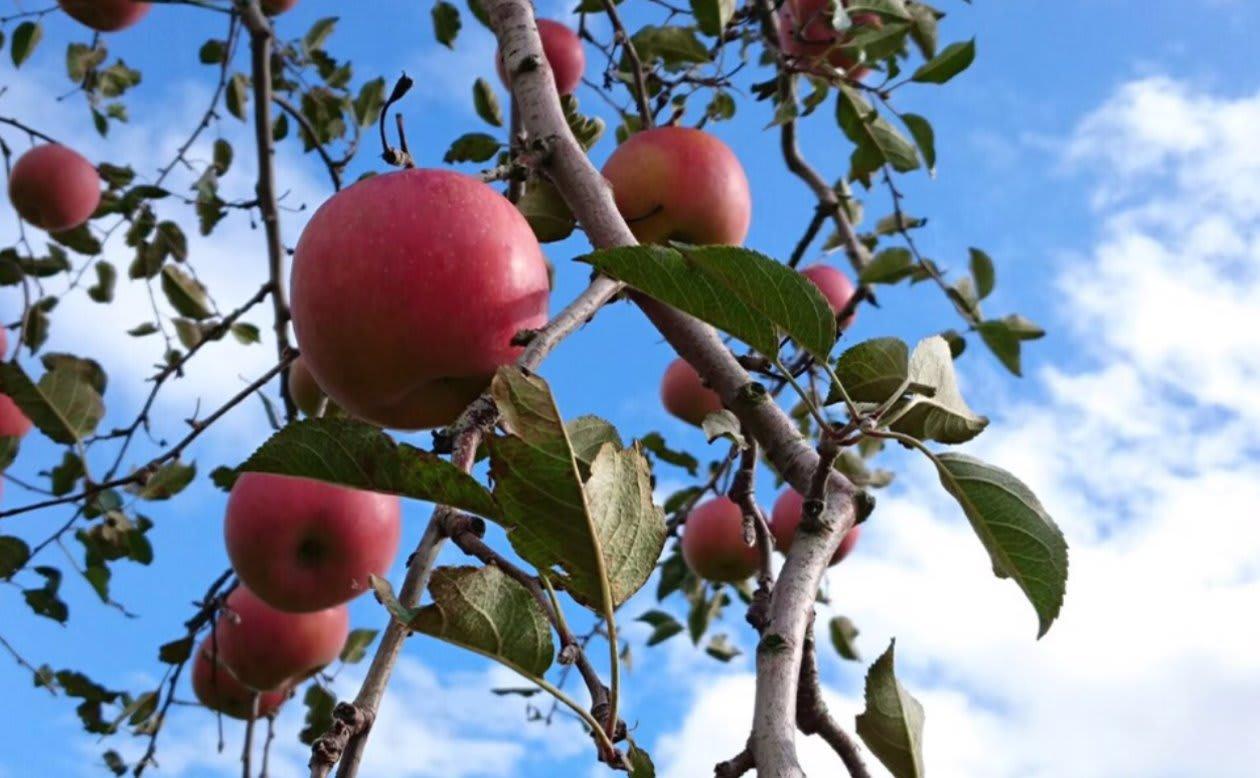 りんご部隊の入隊理由とりんごネームーある隊員の話|信州大学りんご部隊《Pando》