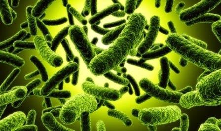 Fermentasi Tepung Jagung dengan Bakteri Asam Laktat