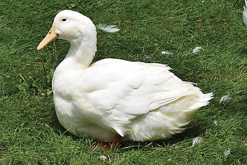 Bebek Aylesbury