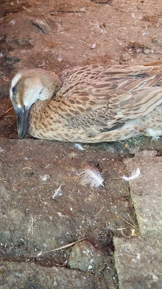 Penyakit pada bebek tidak menular