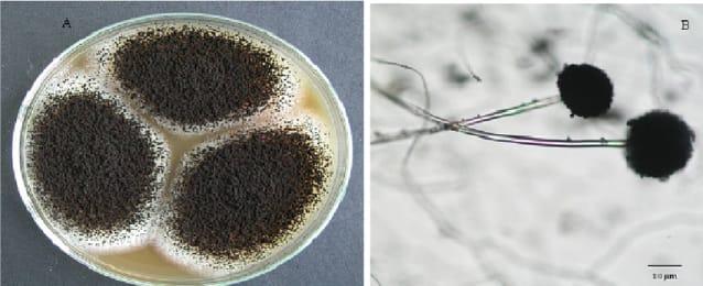 Fermentasi Tepung Jagung dengan Bakteri Asam Laktat (Aspergillus Sp)