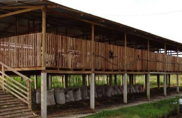 Kandang bebek panggung bisa untuk petelur maupun pedaging