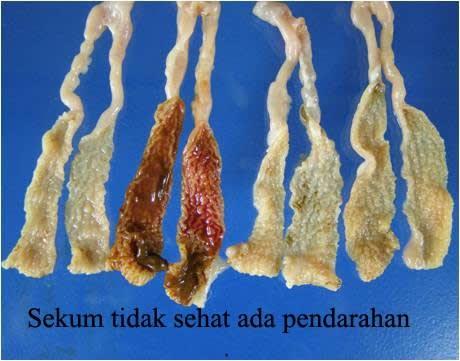 Penyakit Coccidiosis Bebek