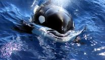 WA killer whales have Aussie accent