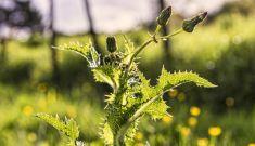 Weeds—Friend or Foe?