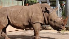 How a southern white rhino from Perth Zoo redefined plus-size modelling