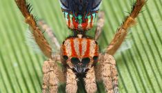 Five new dancing peacock spiders discovered in WA