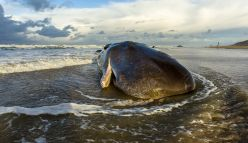 Saving a stranded whale
