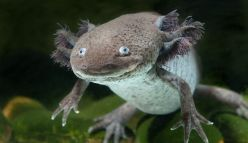 Could this creature hold the future of regenerative medicine?