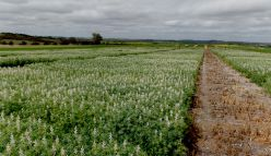 Lupins—from stock feed to superfood