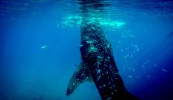 Ningaloo Whale Shark Festival