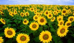 Sunflowers for soil health